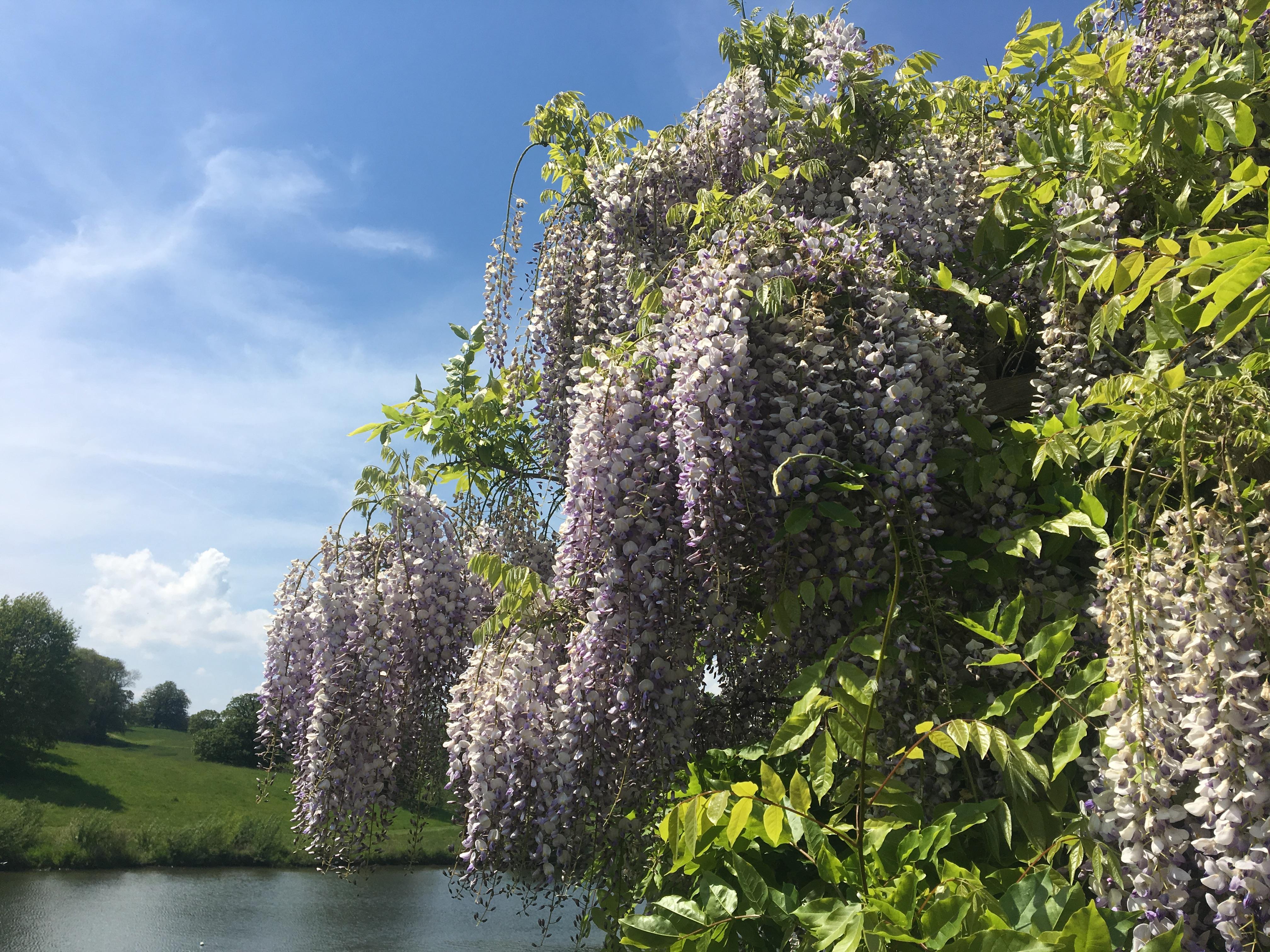 wisteria.jpeg